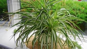Biljka koju treba imati svaka kuća: Ona pročišćava zrak